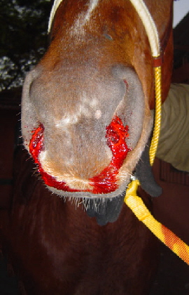 equine_nose_bleeds